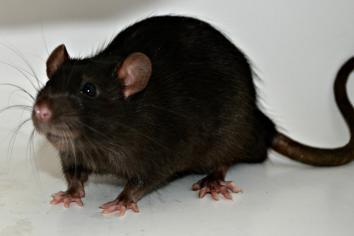 Savage demands action as 17 rats caught at Springfarm